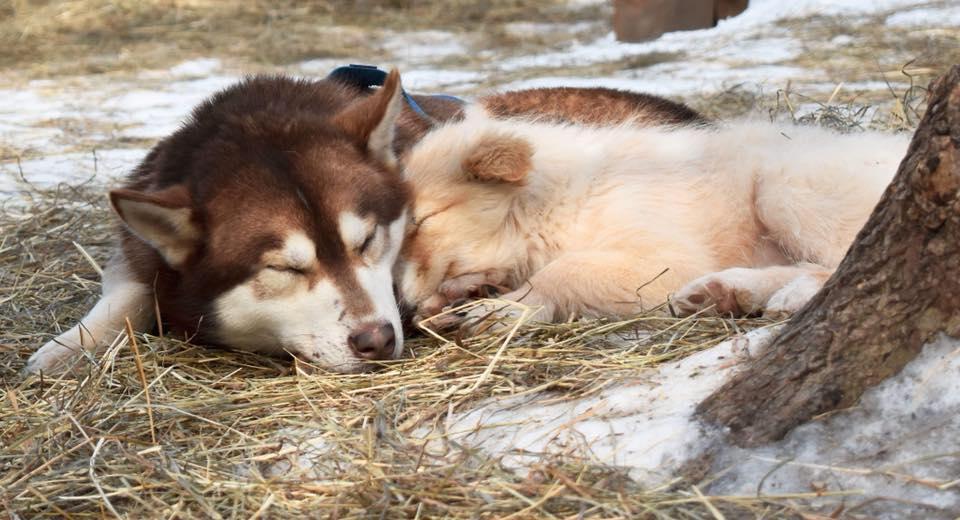 Deux chiens au repos